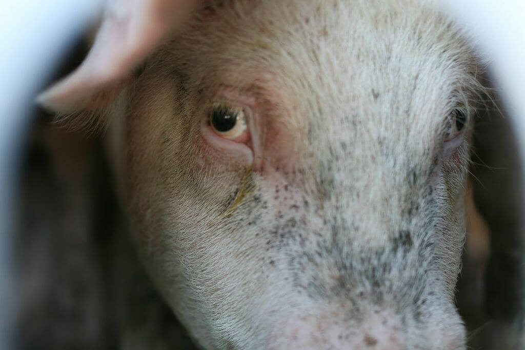 toronto pig save-transport (17)