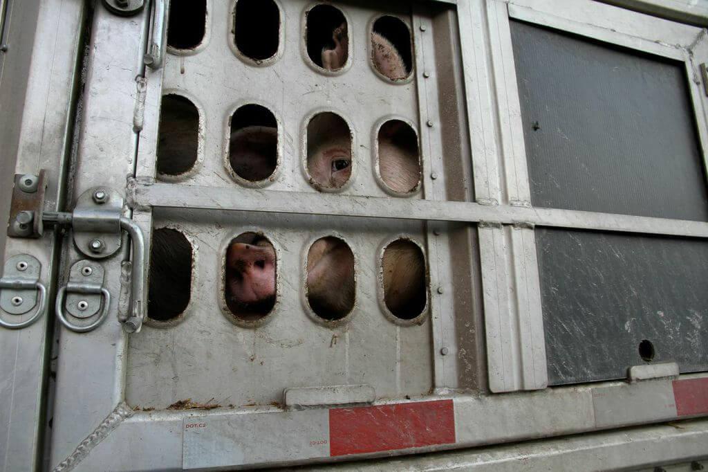 toronto pig save-transport (2)