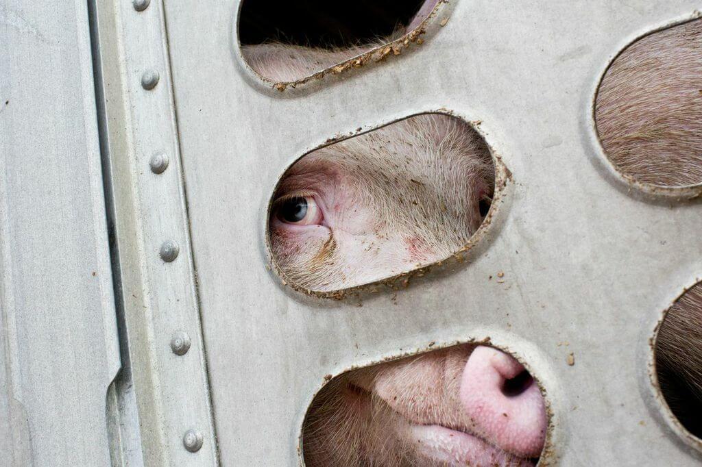toronto pig save-transport (22)