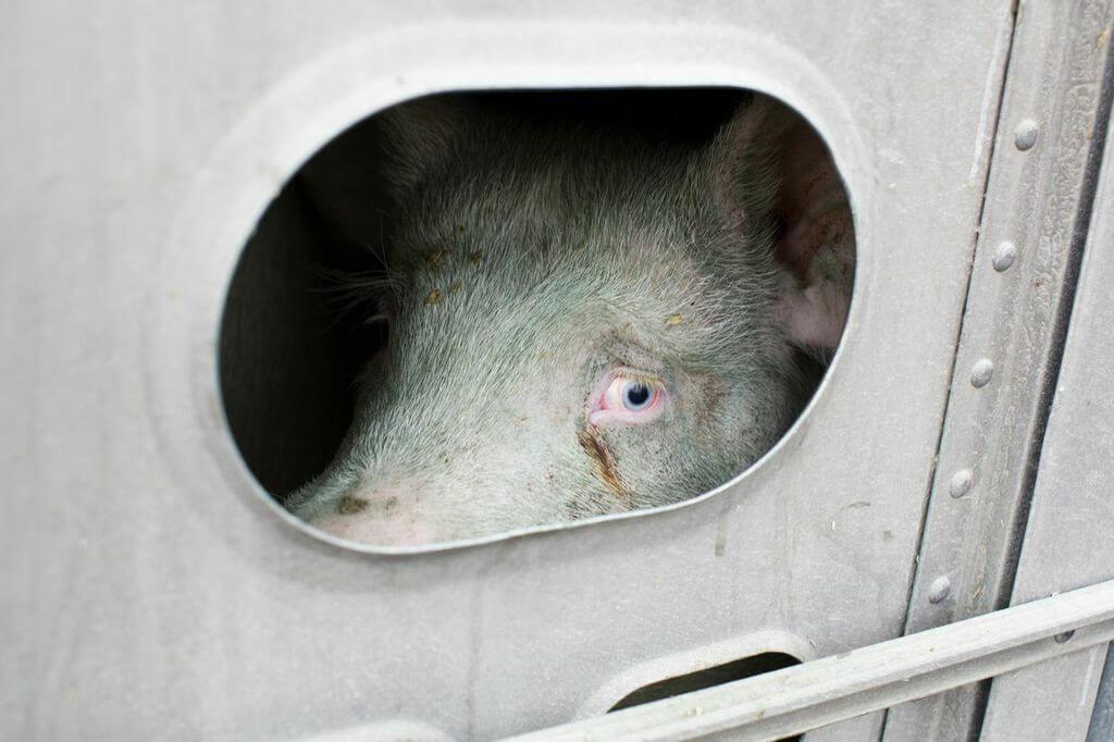 toronto pig save-transport (4)