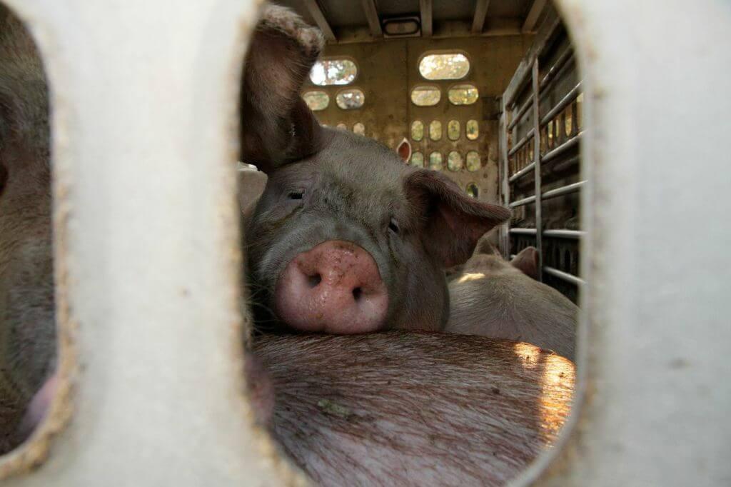 toronto pig save-transport (6)