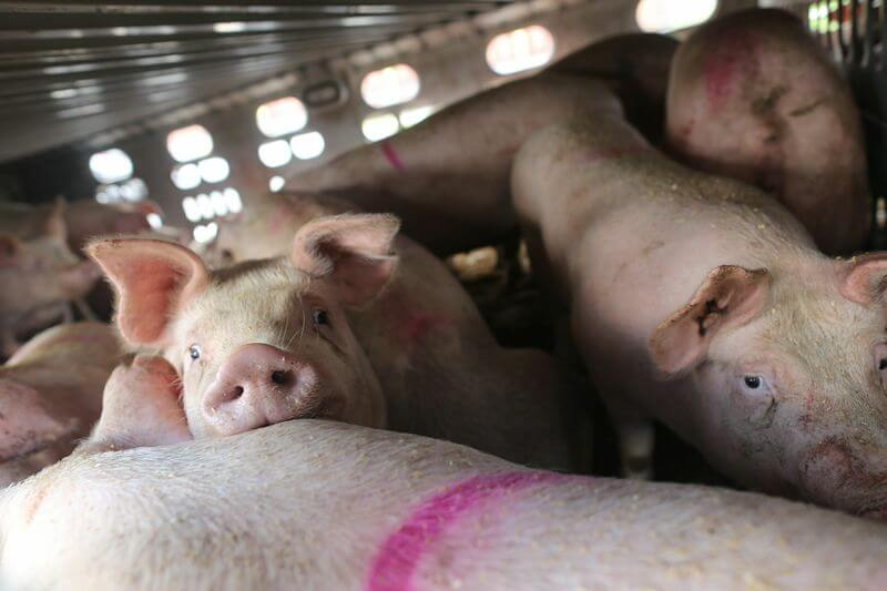 toronto pig save-transport (9)