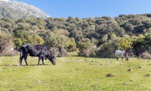 toros en el pasto