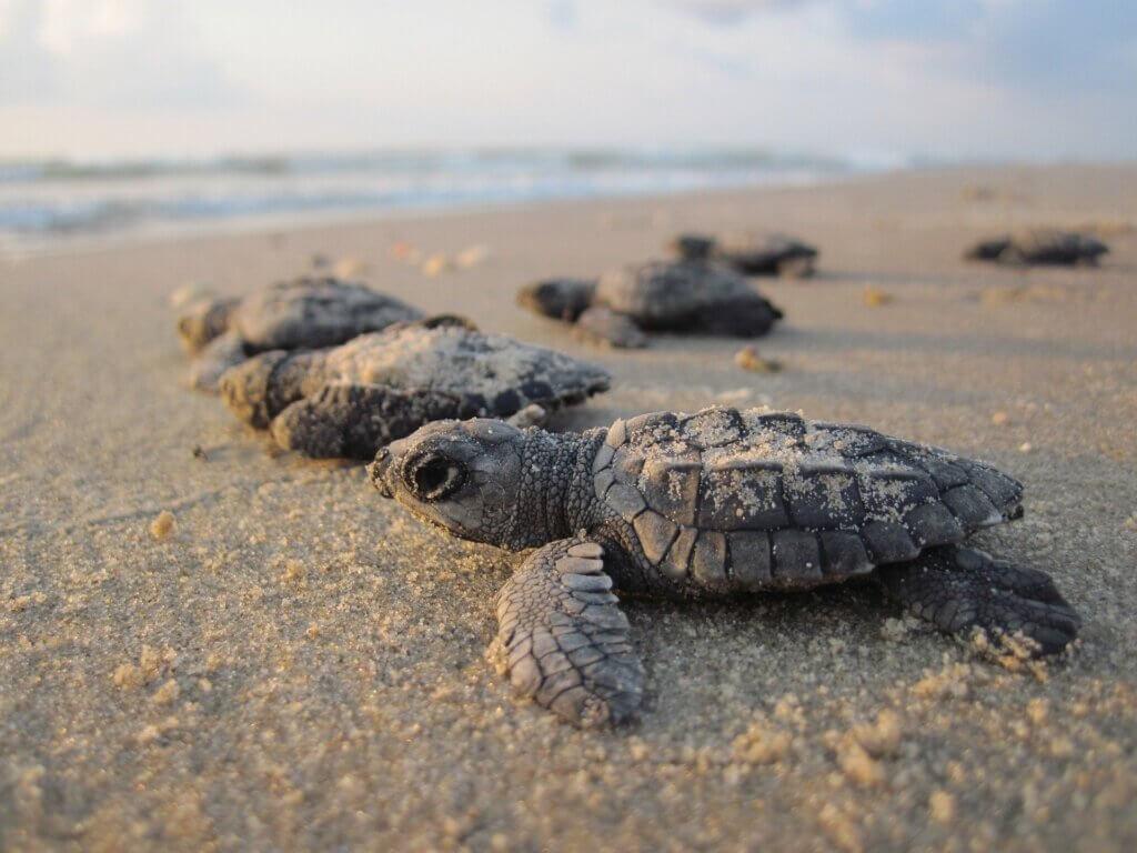 tortugas bebé en la arena