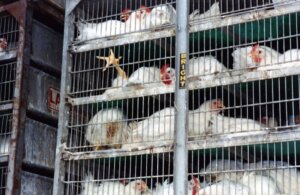 transportacion de gallinas