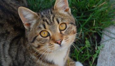 ¡Victoria! La Universidad de Washington cesa el tormento de gatos por presión de PETA