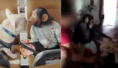Golpean a un Perro y a un Chimpancé para Obligarlos a Actuar en un Reality Show