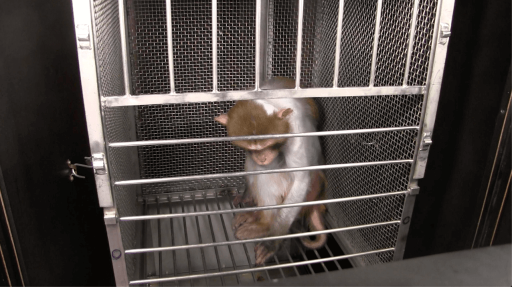 Wilfork the monkey used in experiments at NIH